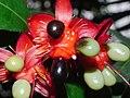 Plant Ochna P1110532 03.jpg