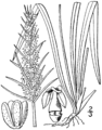 Plantago aristata drawing 1.png