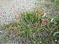 Plantago coronopus sl60.jpg