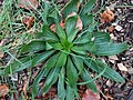 Plantago lanceolata 109006505.jpg