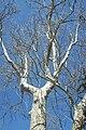 Platanus acerifolia Victoria Park.jpg