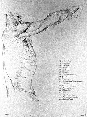 "Plate from ""Anatomical studies of the bones and muscles"". Wellcome L0011909.jpg"