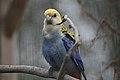 Platycercus adscitus -Kirkley Hall Zoological Gardens, Northumberland, England-8a.jpg