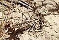 Platycleis sp. (Tettigoniidae- Tettigoniinae- Platycleidini) (32796695930).jpg