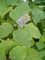 Plectranthus fruticosus