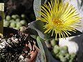 Pleiospilos nobilis1000.jpg
