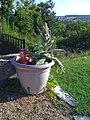 Pod Plant - panoramio.jpg