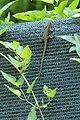 Podarcis muralis (18627419226).jpg