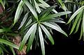 Podocarpus neriifolius 5733.jpg