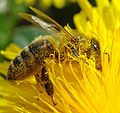 Pollination Bee Dandelion Zoom.JPG