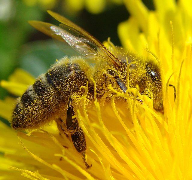 File:Pollination Bee Dandelion Zoom.JPG