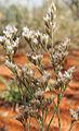 Polycarpaea corymbosa flowers.jpg