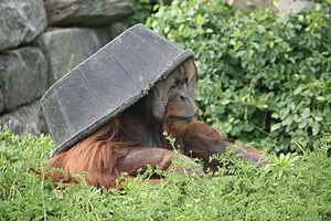 "Captive orangutan ""wearing"" a plastic tub over its head"