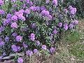 Pontische rododendron struik (Rhododendron ponticum).jpg