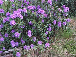 Rhododendron ponticum - Image: Pontische rododendron struik (Rhododendron ponticum)