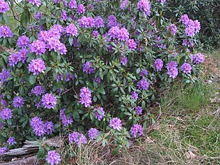 """<i>Rhododendron <span style=""""font-style:normal;"""">subg.</span> Hymenanthes</i> Subgenus of flowering plants"""