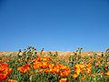 Poppies (2372468130).jpg