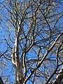 Populus alba Topola biała 2020-04-19 03.jpg