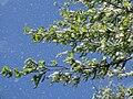 Populus seed dispersal in spring.jpg