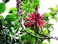 Poroto. Erythrina speciosa. Fabascea.jpg