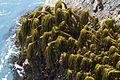 Postelsia palmaeformis.jpg