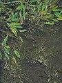 Potamogeton natans IMG 5262.jpg