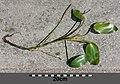 Potamogeton natans sl8.jpg