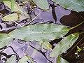 Potamogeton nodosus sl15.jpg