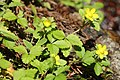 Potentilla hebiichigo (flower s3).jpg