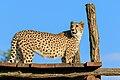 Prague 07-2016 Zoo img12 Acinonyx jubatus.jpg