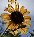 Praying mantis on sunflower (7804213238).jpg
