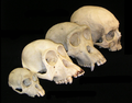 Primate skull series no legend.png