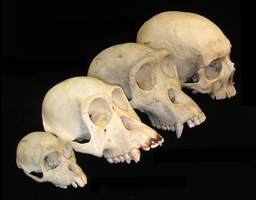 Primate skull series no legend