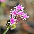 Procession flower (Polygala incarnata) (6017283504).jpg