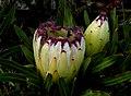 Protea 'White Ice' FZ200 (14602724746).jpg