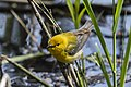 Prothonotary Warbler - Point Pelee - Ontario 10052017-FJ0A3915 (39783836122).jpg