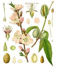 Prunus dulcis - Köhler–s Medizinal-Pflanzen-250.jpg