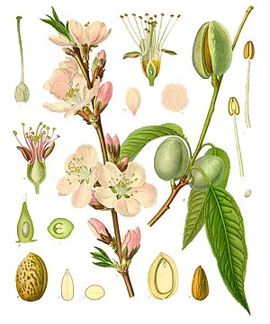 Almond - Image: Prunus dulcis Köhler–s Medizinal Pflanzen 250