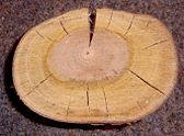Prunus padus crosssection.jpg