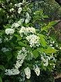 Prunus padus subsp. padus sl7.jpg