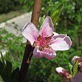 Prunus persica Kiev5.jpg