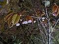 Prunus transarisanensis 65927360.jpg
