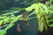 Vachellia Cornigera Wikipedia