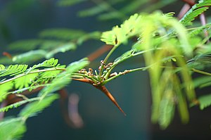 Myrmecophyte - Image: Pseudomyrmex ferruginea Ryan Somma