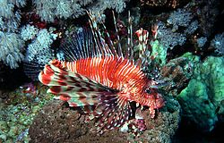 Pterois volitans red.jpg
