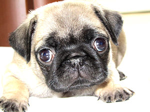 English: A purebred Pug puppy at five weeks old