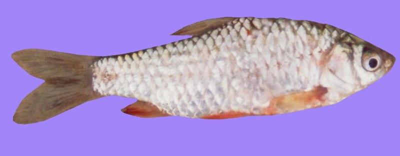 File:Puntius sarana.jpg