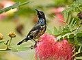 Purple Sunbird AMSM0017.jpg