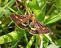 Pyrausta purpuralis (38805978535).jpg