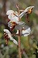 Pyrola rotundifoliaglesyn-y-gaeaf deilgrwn.jpg